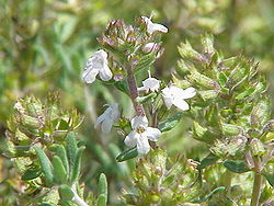 250px-Thymus_vulgaris_fragrantissimus1