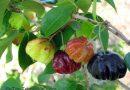 Plantas para la Salud: Pitanga (Eugenia uniflora L)