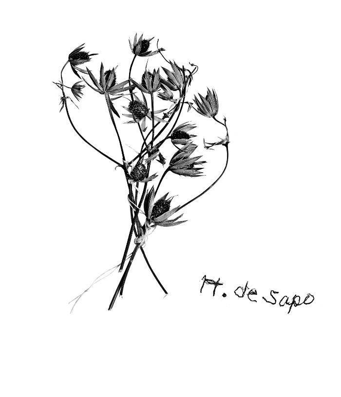 Eryngium carlinae Delaroche. Libreta de Rosita Ascencio. Foto: RAM