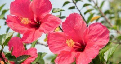 La cayena una flor popular para combatir la caída del cabello