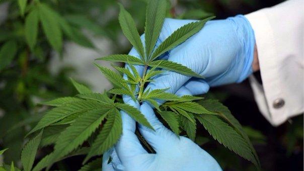 Marihuana medicinal: Esto dice la OMS sobre el fármaco de cannabis