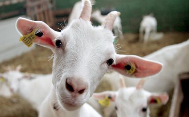 Cualidades medicinales y nutricionales de la leche de cabra.