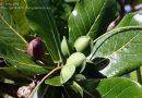 Usos medicinales del Almendrón o Almendro Indio – (Terminalia Catappa)