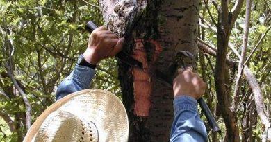 México: Propiedades medicinales del Cuachalalate (Amphipterygium adstringens)