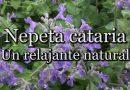 Nepeta Cataria: Un relajante natural (con Josep Pàmies)
