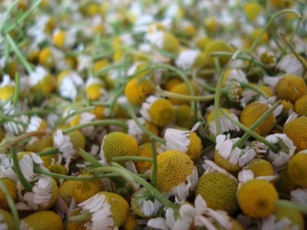 Planta de manzanilla: cuidados y para qué sirve - Cómo tomar manzanilla