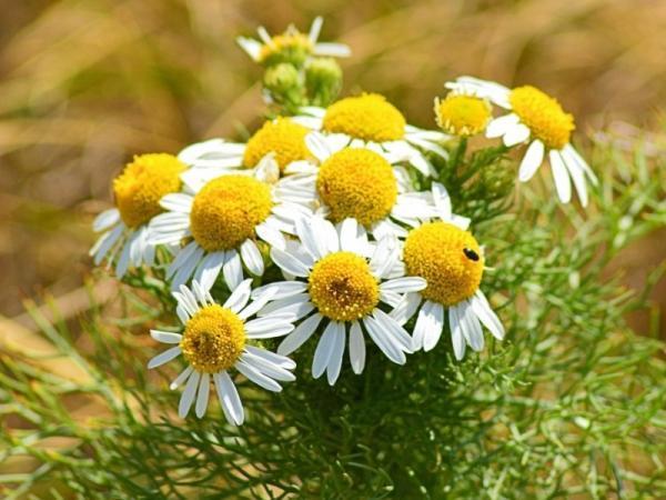 Planta de manzanilla: cuidados y para qué sirve - Para qué sirve la planta de manzanilla - beneficios y usos